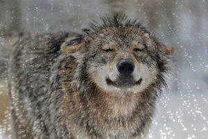 Wolf in rain